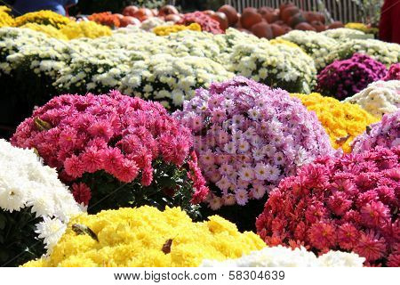 colorful mums for sale