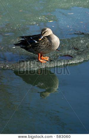 Duck On Ice - 1