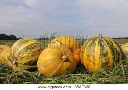 big yellow pumpkins
