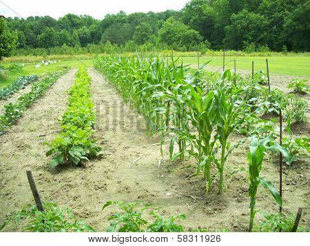 Green summer garden crop