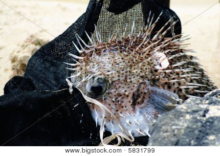 Hedgehog-fish