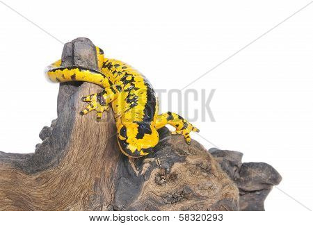 Salamander.