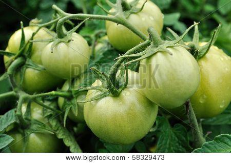 Close-up Of Unripe Tomato