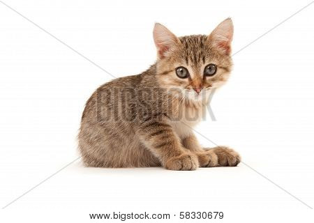 Kitten Isolated On White