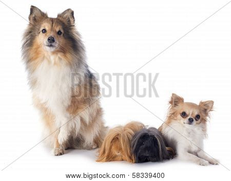Peruvian Guinea Pig And Dogs
