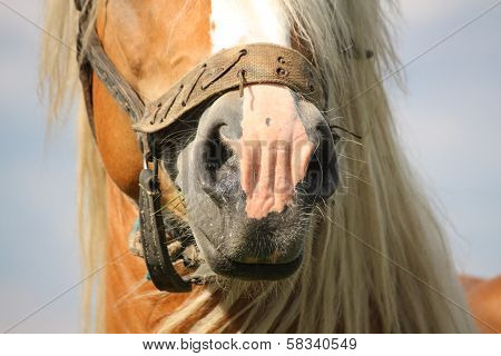 Beautiful Palomino Draught Horse Head Close Up