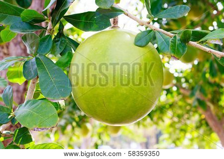 Calabash Tree And Fruit