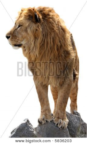 Lion On A Stones