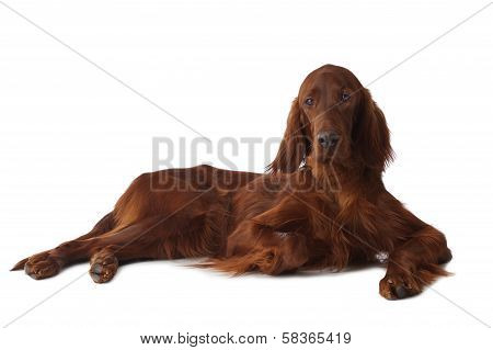 Irish Setter Over White