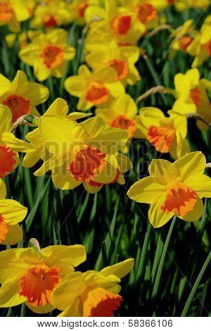 Yellow & Orange Daffodils