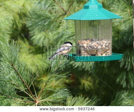 Chickadee Blackcapped