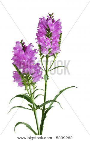 Obedient Flower Plant