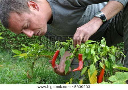 Young Farmer Cultivating Peppers