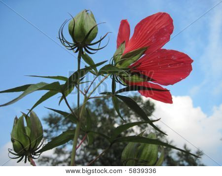 Water Hibiscus