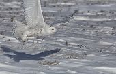stock photo of hedwig  - Snowy owl in flight capturing its prey - JPG