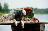 foto of english setter  - setter with hunting bird and accessories horizontal outdoors - JPG