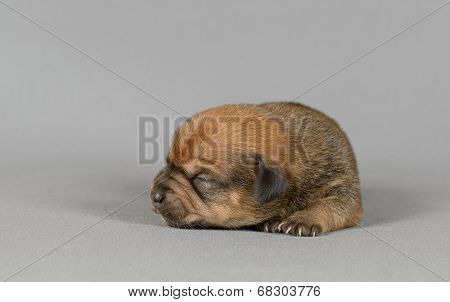 Cute Pure Breed Teckel Puppy