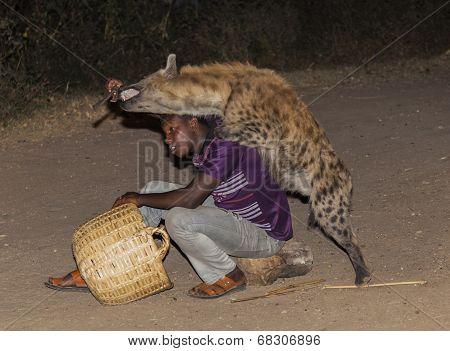 Harar, Ethiopia - December 23, 2013: An Unidentified Man Feeds A Spotted Hyena (crocuta Crocuta) In