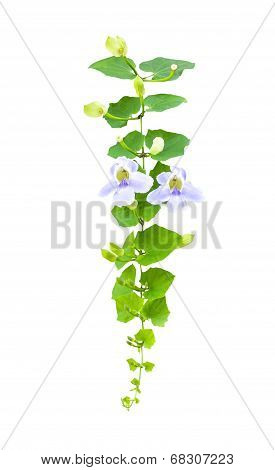 Blue Trumpet Vine Flower With Greenleaf