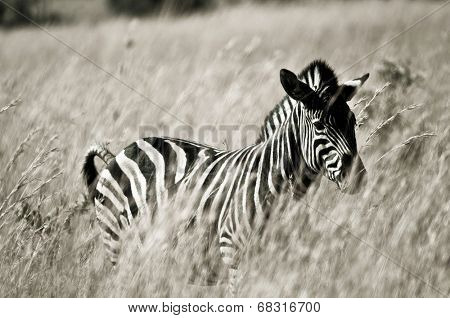 Black and white picture of a zebra in grassland