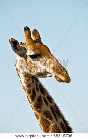 Strange looking giraffe and a blue sky