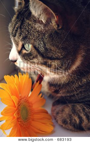 Tabby With Orange Flower