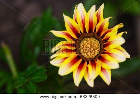 Yellow Gazania Flower Macro Photo