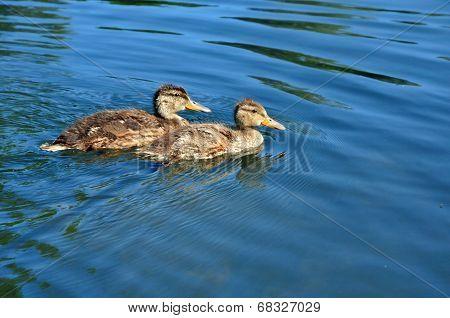 Mallard ducklings.