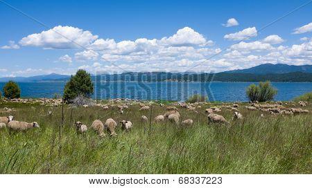 Sheep Graze by Lake