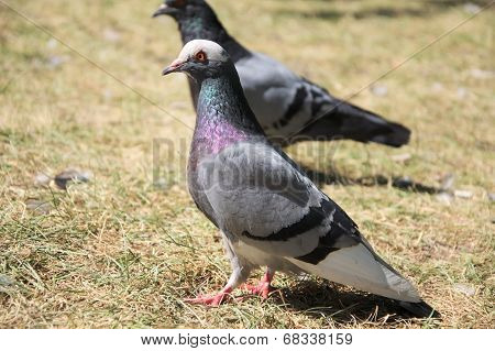 Gray Dove Bird