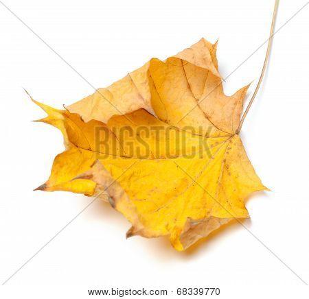 Autumn Yellow Maple Leaf