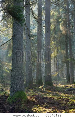 Sunbeam Entering Old Coniferous Stand