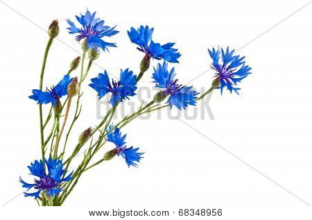 The group of blue cornflowers on white background