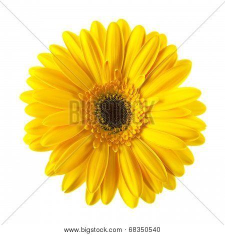 Yellow Daisy Flower Isolated