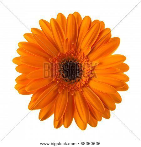 Orange Daisy Flower Isolated