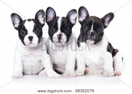 French bulldog puppy portrait on a white background