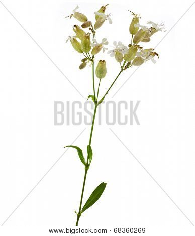 Soapwort (Saponaria officinalis) medicinal plant isolated on white