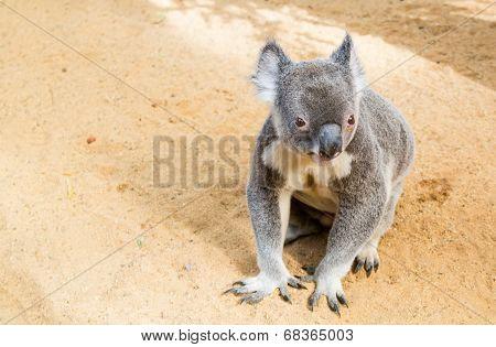 Curious koala