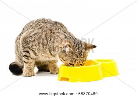 Scottish Straight  cat eats
