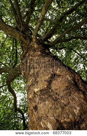European Ash (fraxinus Excelsior) - View From The Bottom Up