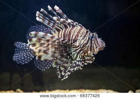 Red Lionfish, On A Uniform Dark Background