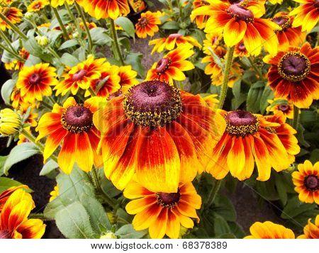 Sonnenhut Echinacea