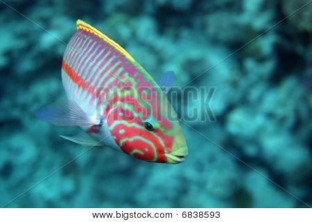 Coral Fish Thalassoma Klunzingeri