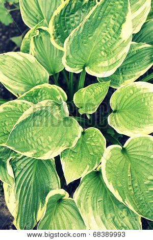 Hosta Leaves Background Retro Style