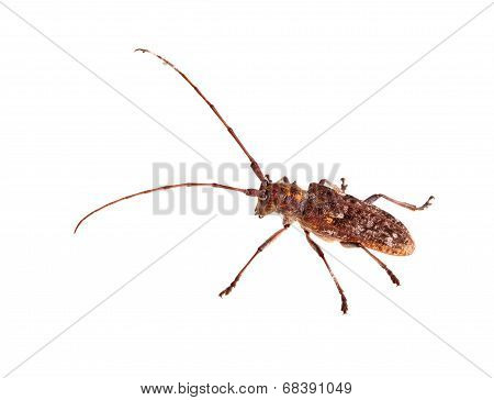 The Carolina Pine Sawyer Longhorned Beetle, Monochamus Carolinensis, On White
