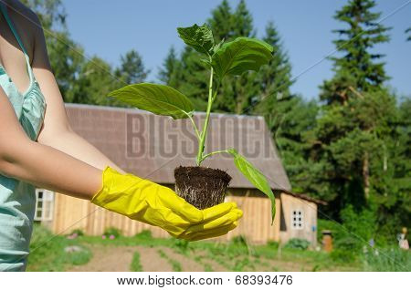 Green Leaves Eggplant Seedling On Woman Hands