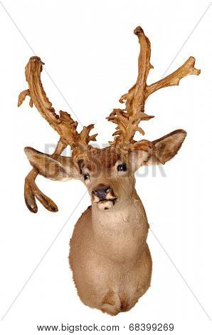 bizarre untypical Whitetail head mount isolated on white background