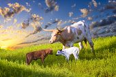 foto of texas-longhorn  - Female Longhorn cow grazing in a Texas pasture at sunrise with two newborn calves - JPG