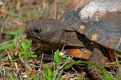 stock photo of gopher  - Gopher Tortoise (Gopherus polyphemus) in the dessert