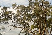 stock photo of eucalyptus trees  - Large eucalyptus trees - JPG